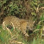 Mammals_Jaguar-02_jpg