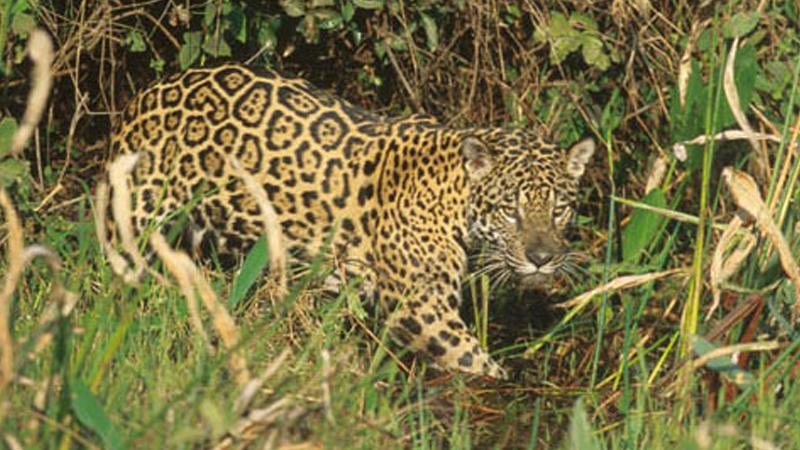 jaguar_reserve